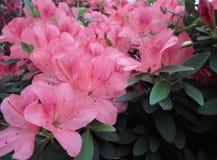 Fleurs lilas, fleurs pourpres Arbre de floraison au printemps Rose fleurit, les fleurs roses, azalées roses Photographie stock libre de droits