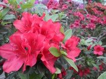 Fleurs lilas, fleurs pourpres Arbre de floraison au printemps Rose fleurit, les fleurs roses, azalées roses Photo stock