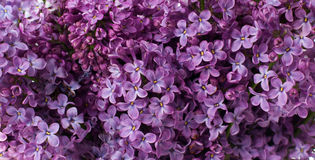 Fleurs lilas, fond floral Photos libres de droits