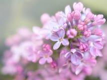 Fleurs lilas fraîches avec le backgroud brouillé Image stock