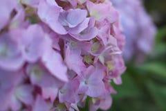 fleurs Lilas-roses d'un hortensia photographie stock