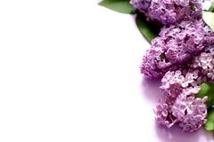 Fleurs lilas sur le fond blanc photographie stock libre de droits