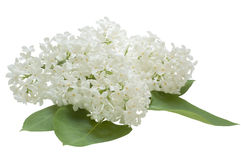 Fleurs lilas sur un fond blanc Image libre de droits