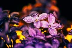 Fleurs lilas sur un fond foncé au plan rapproché de coucher du soleil dans les baisses o Image libre de droits