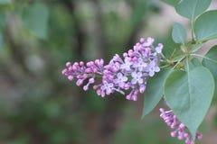 Fleurs lilas Un beau groupe de plan rapproché lilas Branche verte avec des fleurs de ressort Fleurs lilas sur l'arbre Images stock