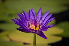 Fleurs : Lotus pourpre Image libre de droits