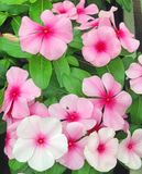Fleurs lumineuses de Catharanthus aux nuances du rose Photographie stock libre de droits