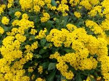 buisson de source avec les fleurs jaunes image stock image du nature fleur 14196929. Black Bedroom Furniture Sets. Home Design Ideas