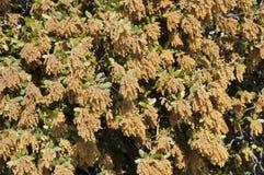 Fleurs mâles de chêne de Holm Photos libres de droits