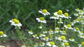 Fleurs médicales d'herbes de camomille fraîche en été banque de vidéos