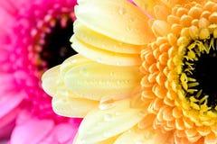 Fleurs mélangées de marguerite Images libres de droits