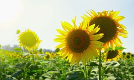 Fleurs mûres d'un tournesol dans un domaine Photographie stock libre de droits