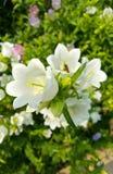 Fleurs macédoniennes de campanule Images stock