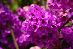 Fleurs magenta de bouganvillée Images stock