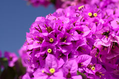 Fleurs magenta de bouganvillée Image stock