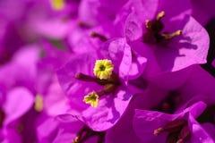 Fleurs magenta de bouganvillée Photos stock