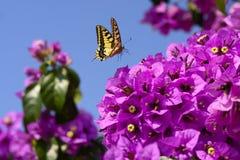 Fleurs magenta de bouganvillée Photos libres de droits