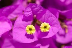 Fleurs magenta de bouganvillée Photographie stock libre de droits