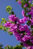 Fleurs magenta de bouganvillée Photo libre de droits