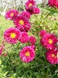 Fleurs marron de crysanthemum, 2 crysant rouges Photos libres de droits