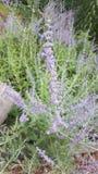Fleurs mauve-clair Photo libre de droits