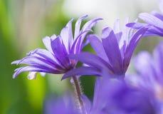 Fleurs mauve de ressort sur le bokeh vert Photos libres de droits