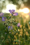 Fleurs Meadowy dans le coucher du soleil Photo stock