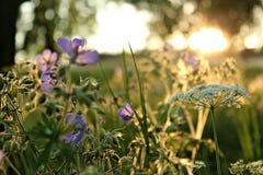 Fleurs Meadowy dans le coucher du soleil Photographie stock