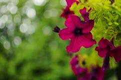 Fleurs merveilleuses de fleur de pétunia dans un coussin pendant l'été images stock