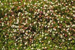 Fleurs mexicaines de fleabane Photos libres de droits