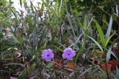 Fleurs mexicaines de pourpre de pétunia Image libre de droits