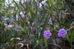 Fleurs mexicaines de pourpre de pétunia Photographie stock libre de droits
