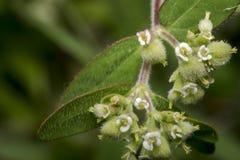 Fleurs minuscules d'enchanter de morelle de circaea photographie stock libre de droits