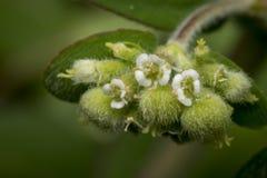 Fleurs minuscules d'enchanter de morelle de circaea images stock
