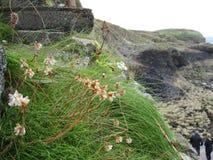 Fleurs minuscules sur l'île de Staffa Images libres de droits