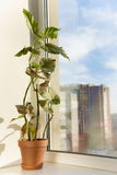 Fleurs mises en pot sur le rebord de fenêtre dans un pot. Corallina 'Lu de bégonia Photographie stock
