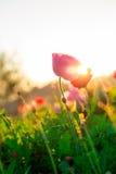 Fleurs molles de cosmos de foyer au coucher du soleil images stock