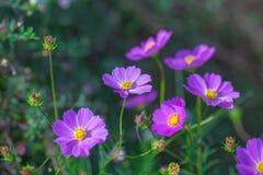 Fleurs molles de cosmos de foyer dans le jardin Images stock