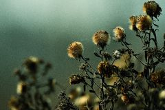 Fleurs mortes du réveil de attente de ressort Images libres de droits