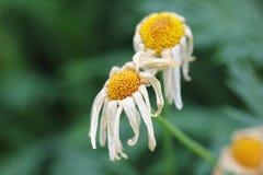 Fleurs mourantes image libre de droits