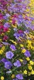 Fleurs multicolores d'été Photos libres de droits