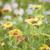 Fleurs multicolores de camomille sur l'herbe verte Photographie stock