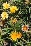 Fleurs multicolores de gazania dans le jardin photos libres de droits