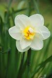 Fleurs narcisse Image libre de droits