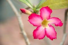 fleurs naturelles d'azalée de fleurs Photographie stock libre de droits
