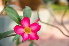 fleurs naturelles d'azalée de fleurs Image stock