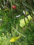 Fleurs naturelles de dragon de fruit image stock