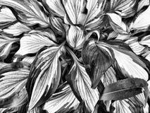 Fleurs noires et blanches Image libre de droits