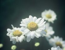 Fleurs observées par jaune Photos libres de droits