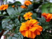 Fleurs oranges Image libre de droits